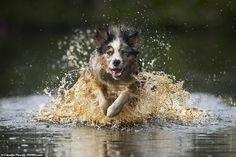 Golden lake Photo by Claudio Piccoli — National Geographic Your Shot Australian Shepherds, Dog Wallpaper, Animal Wallpaper, Golden Lake, Herding Dogs, Dog Runs, Dog Barking, Dog Pictures, Animal Photography