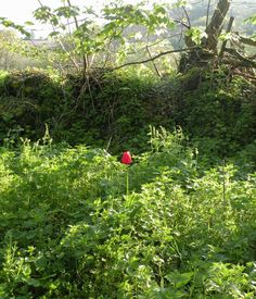 Lonely Tulip on a Devon lane