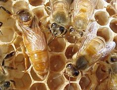 """""""Cordovans: Bees of a different color"""" from Glenn Apiaries (retired after 35 years) Honey Bee 2, Bee Swarm, Raising Bees, Buzz Bee, Mason Bees, Bee Boxes, Bees And Wasps, I Love Bees, Save The Bees"""