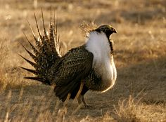 In the nineteenth century, sage grouse were so numerous that they enabled hungry Europeans to expand across the American West.