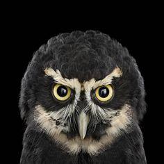 Величественные и благородные. В этой потрясающей серии Брэда Уилсона портреты разных видов сов. http://www.bradwilson.com/  http://tanjand.livejournal.com/1280291.html