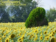 Sunflowers and decorative shrub