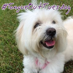 #TongueOutTuesday #cotondetulear #cotonlovers #dogLovers