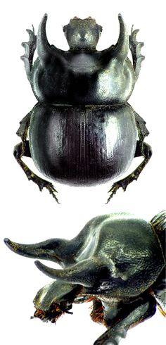 Taurocerastes patagonicus