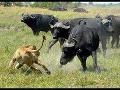 Confrontation - Lions vs Buffalo | Buffaloes kill lions - The fiercest animals Amazing Wild Animal