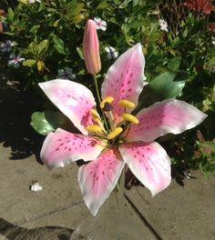 Gum Paste Stargazer Lily