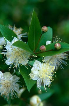 communis - common myrtle / Myrtus communis Buy common myrtle Myrtus communis: Delivery by .ukBuy common myrtle Myrtus communis: Delivery by . Plants, Evergreen Shrubs, White Flowers, Australian Native Plants, Shrubs, Fragrant Flowers, Floral Scent, Pretty Flowers, Myrtle Flower