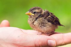 Cute baby sparrow sitting in hand against green background. by Cristi Kerekes Human care for baby sparrow
