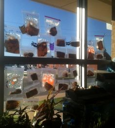 Plant pumpkin seeds in plastic bags to watch them sprout