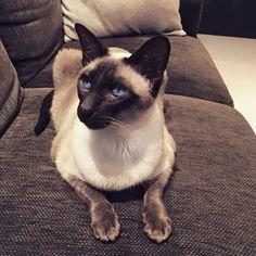 Siamese-Cats's photo.
