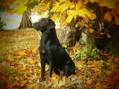Another photo of a BIG dog enjoying the Autumn for our Pretty BIG Dog Photography Competition http://www.mybigdog.co.uk/Info/useful-links/competitions/pretty-big-dogs-photography-competitions/