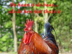 De haan is de baas... als de hen niet thuis is. #leukespreuken #woonspreuk