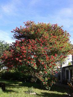 El Ceibo, la flor nacional.  Arbol hermoso!!