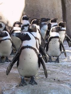 Penguins of the African Coast at the Minnesota Zoo!