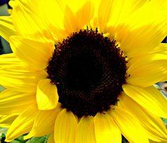 Sumflower