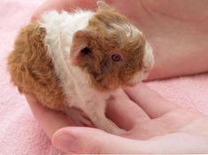 this looks just like my baby Guinea pig, except mine has grey sploches not brown ones