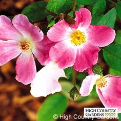 Rosa Nearly Wild | Rosa Nearly Wild | Low Water Plants, Eco Friendly Landscapes | High Country Gardens
