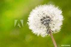 Federleichte Pusteblume, Grußkarte, symbolisch, Leichtigkeit im Frühling, Taraxacum officinale, Textfreiraum, copy space,…