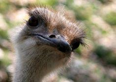 Ostrich bird by @Doug88888, via Flickr