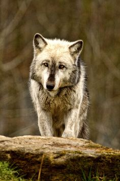 Wolf photo by Val Saxby