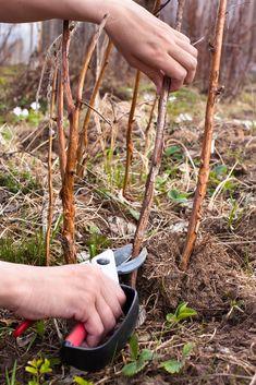 Summer Bearing Red Raspberry Plants: When Do You Prune Summer Bearing Raspberries Veg Garden, Fruit Garden, Edible Garden, Garden Beds, Raspberry Canes, Raspberry Bush, Pruning Raspberries, How To Grow Raspberries, Blackberries