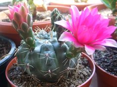 Gymnocalycium baldianum (Dwarf Chin Cactus) → Plant characteristics and more photos at: http://www.worldofsucculents.com/?p=1928