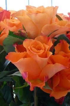 Orange rose blooms