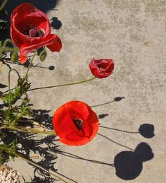 Barb's Garden Observations: In Flanders Fields the Poppies Blow