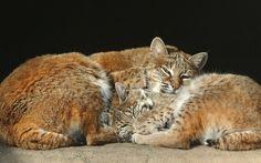 Рыжая рысь, Bobcat, Lynx rufus