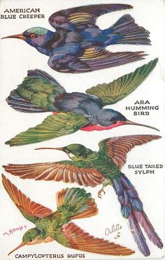 AMERICAN BLUE CREEPER, ARA HUMMING BIRD, BLUE TAILED SYLPH, CAMPYLOPTERUS RUFUS OILETTE, PRINTED IN ENGLAND, COPYRIGHT LONDON, push outs, DIRECTIONS on back, same images as 3375 likely Tuck number error. listed in1930 POSTCARD Catalogue    Where Sold: Great Britain