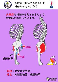 2.大殿筋(だいでんきん)を横からみてみよう!   世界一ゆる〜い解剖学教室