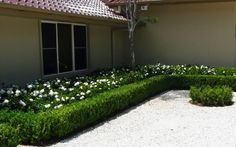 Radicans Gardenia potted - Google Search