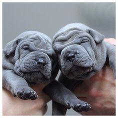 Thai Ridgebacks pups! ~ Too cute for words!!