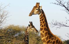 Close up of Giraffes in Shelanti, Limpopo, South Africa