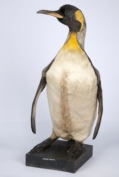 DigitaltMuseum - Pingvin Penguins, Animals, Animaux, Animal, Penguin, Animales, Animais