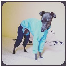 italian greyhound clothing available here www.figsandpoppies.com