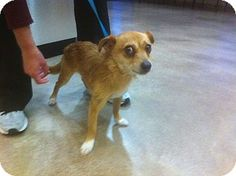 Vancouver, BC - Terrier (Unknown Type, Small) Mix. Meet Moose, a dog for adoption. http://www.adoptapet.com/pet/15108319-vancouver-british-columbia-terrier-unknown-type-small-mix