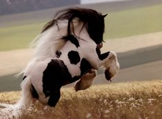 Gypsy Vanner- so beautiful