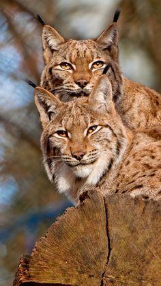 Lynx pair