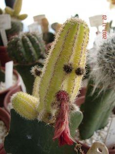 Die 15 Besten Bilder Von Lustiger Kaktus Succulents Cacti