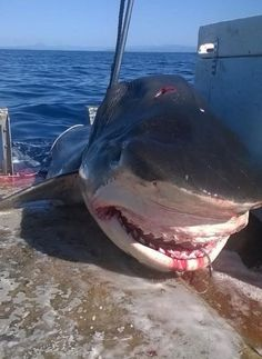 A massive tiger shark was likely caught by a commercial fisherman on a drum line. Photo: Handout