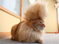 Mohawk cat