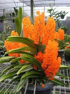 The Rust-red Ascocentrum (Ascocentrum miniatum) ~`~ A species orchidphoto from private orchid nursery and laboratory located somewhere in Antip… Unusual Flowers, Unusual Plants, Rare Flowers, Rare Plants, Exotic Plants, Amazing Flowers, Orchids Garden, Orchid Plants, Orchid Nursery
