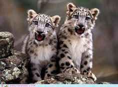 Went to visit Nima and Nudan at Planckendael. Just as cute as these two snowleopards.