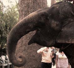 Un éléphant souriant, Siem Reap, Cambodge, juillet 2013