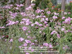 67 best skyrim in real life images on pinterest in 2018 videogames photo of sand palafox palafoxia hookeriana on summer caption a group of blooms on my wildflower area mightylinksfo