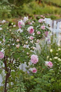 Roser og Patina: Sommer