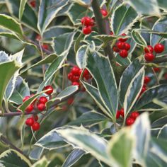 Ilex aquifolium 'Handsworth New Silver' Dark purple stems.