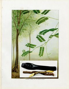 Vintage Licorice Print C. 1911 Grocer's Encyclopedia Lithograph - Licorice Tree, Licorice Root - Wall Art, Home Decor, Christmas Gift Vintage Botanical Prints, Antique Prints, Custom Mats, Bird Prints, Fruit, All Print, The Originals, Antiques