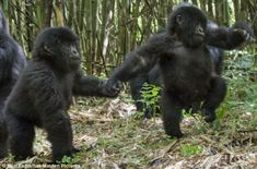 "Mountain gorilla twins explore the jungle holding hands! ""With fewer than 900 mountain gorillas left in the wild, the birth of twins is particularly exciting for conservationists as well as for their mother."""